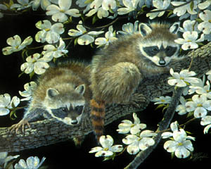 Dogwood Hideout - Young Raccons