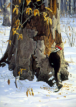 Working the Base - Pileated Woodpecker